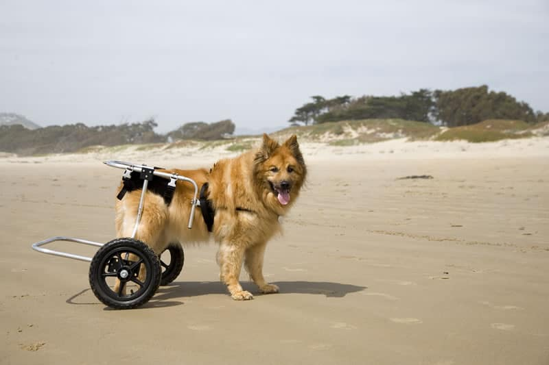 dog-on-wheels